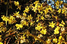 Le jasmin d 39 hiver jasmin fleurs jaunes astuces bricolage - Jasmin blanc d hiver ...