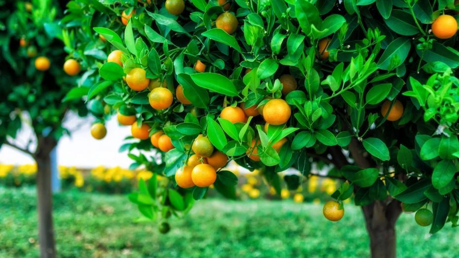 Le choix des arbres fruitiers astuces bricolage for Arbre fruitier