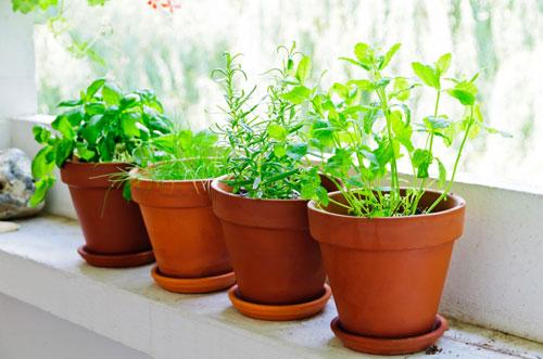 plante aromatique pot