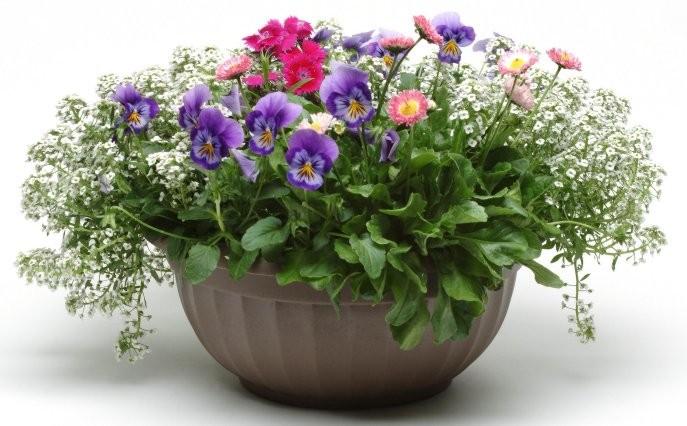 plantation d'annuelles en pots