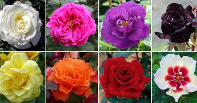 types rosiers
