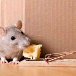 Se débarasser des souris : dératisation et méthodes contre souris