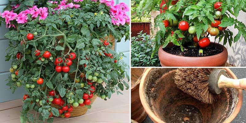 Astuces tomate plus grosse et savoureuse