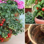 5 astuces pour des tomates plus grosses et plus savoureuses
