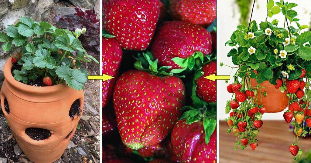 culture fraise en pot