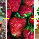 Conseils & étapes de culture de fraise en pots