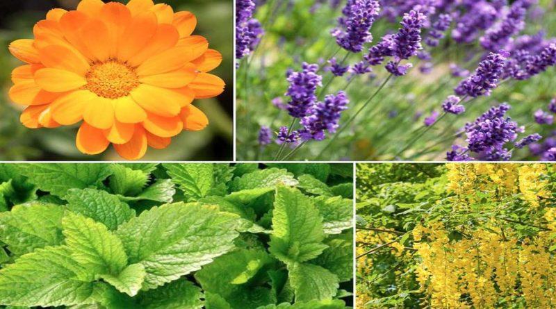 plantes anti moustiques