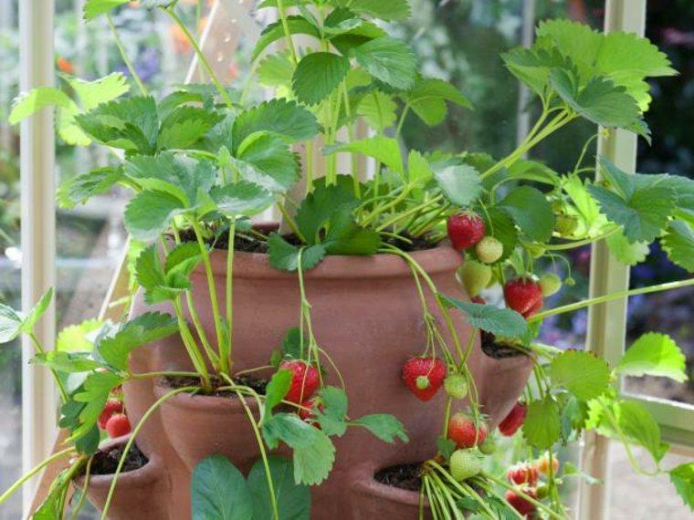 fraise en pot
