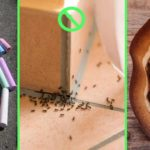 Solutions et répulsifs naturels anti fourmis