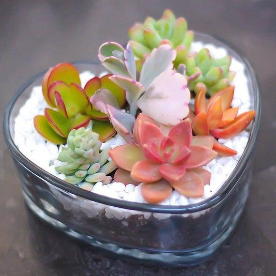 culture plante succulente