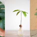 Avocatier en pot : conseils germination & culture !