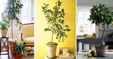 culture citronnier pot