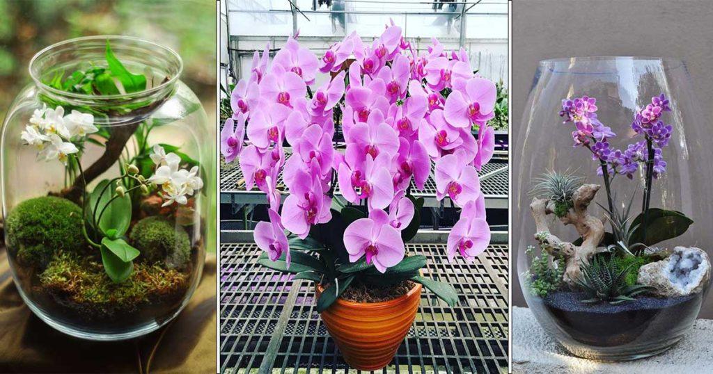 floraison orchidee