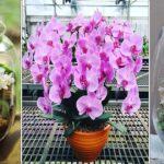 Comment favoriser une deuxième floraison de l'orchidée