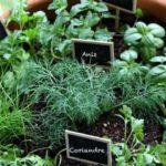 Plantes médicinales; choix et cultures