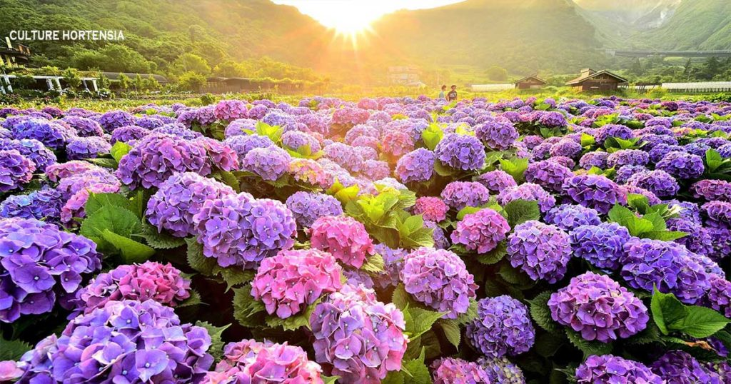 culture hortensia