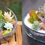 Les Plantes Succulentes : culture et entretien