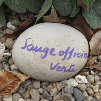 nom plante pierre