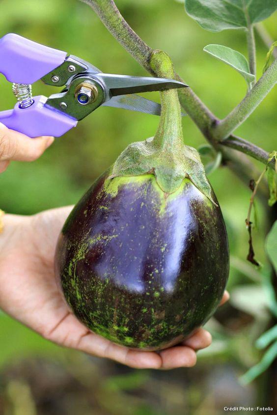 culture aubergine