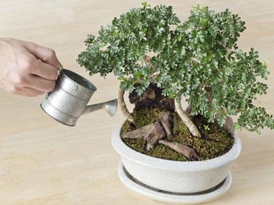 arrosage bonsai