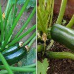 Les techniques utiles pour planter et réussir sa culture de courgettes