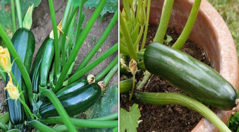 culture courgettes