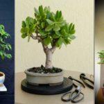 Entretenir et maîtriser la croissance des bonsaïs, des arbres miniatures
