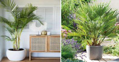 conseils culture palmier