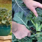 Procéder à la culture et à l'entretien des brocolis dans son jardin potager