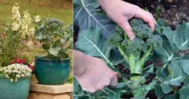 culture brocoli
