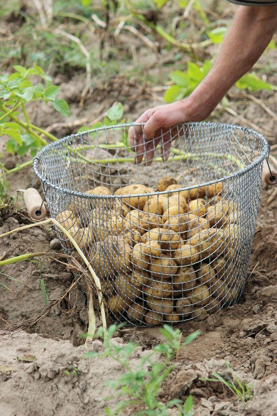 conserver pomme terre