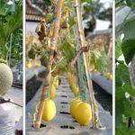 Les informations importantes pour réussir la culture et l'entretien du melon