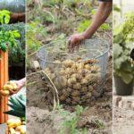Cultiver et de conserver les pommes de terre