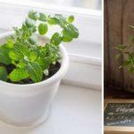 Les bonnes méthodes et astuces pour cultiver de la menthe