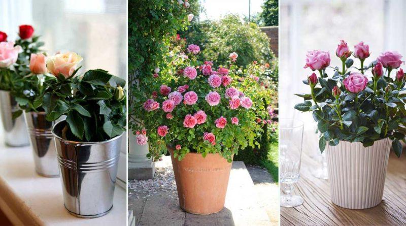 cultiver rosier pot